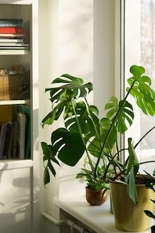 신선한 녹색 잎 몬스테라 화초는 햇빛이 비치는 가정 정원에서 창턱에 있는 거실에 있습니다.