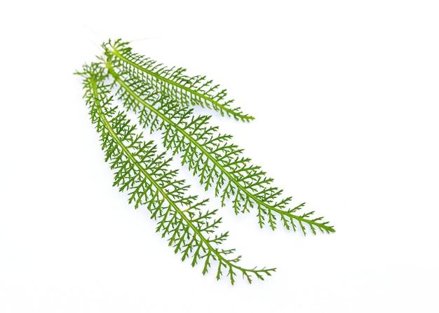 Свежие зеленые листья тысячелистника крупным планом - изолированные на белой стене