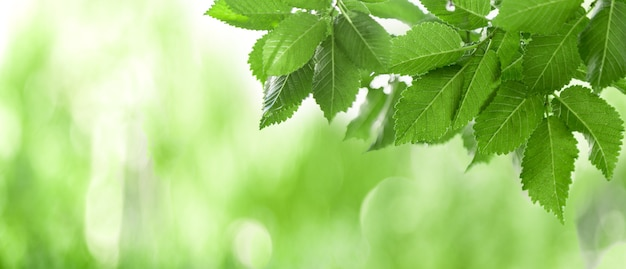 Fresh green leaves in summer or spring season. frame made from green tree leaves and bokeh blurred background. natural backgrounds. panoramic nature border. long web banner.