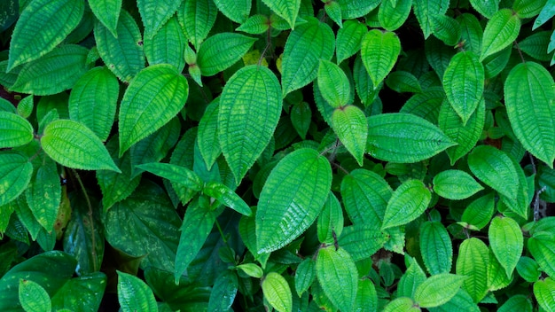 Fresh green leaves texture for nature background and design,foliage nature background