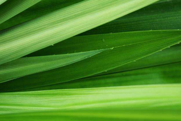 Fresh green leaves tropical pandan leaf texture background