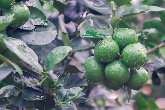 Fresh green lemon organic limes on tree