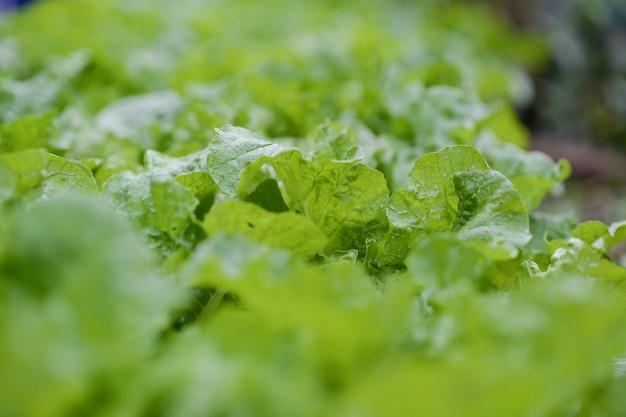 Fresh green lettuce from the farm