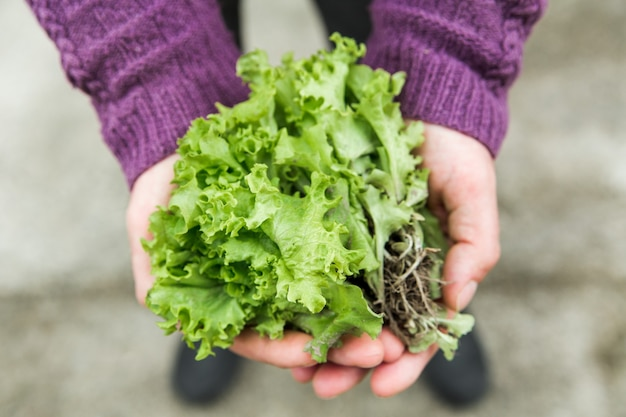 Fresh green lettuce from a garden bed in a hands. farming and growing vegetables concept. close-up view