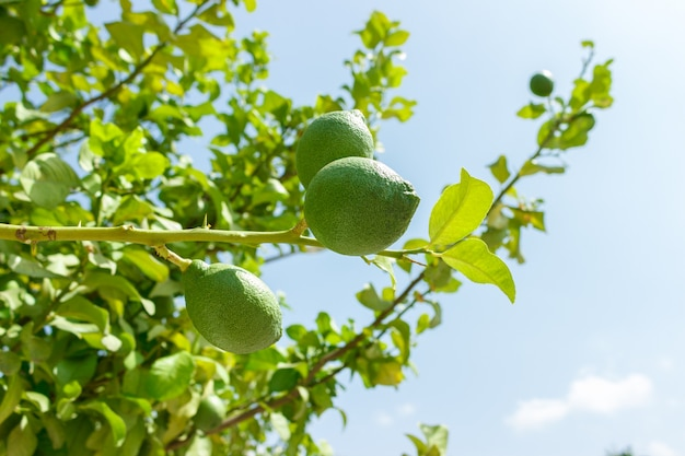Fresh green lime fruits on branch at green tree against blue sky