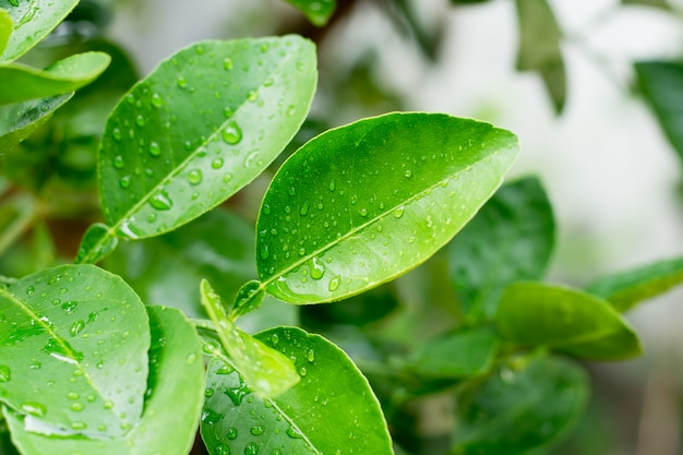Fresh green lime leaves with drops