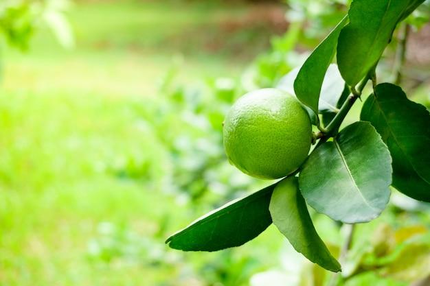 庭で水滴が付いている木に掛かっている新鮮なライムグリーンレモン