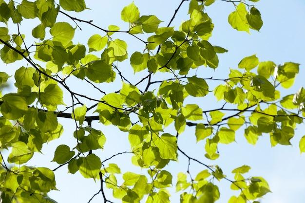 青空、春を背景に新鮮な緑のリンデンの葉