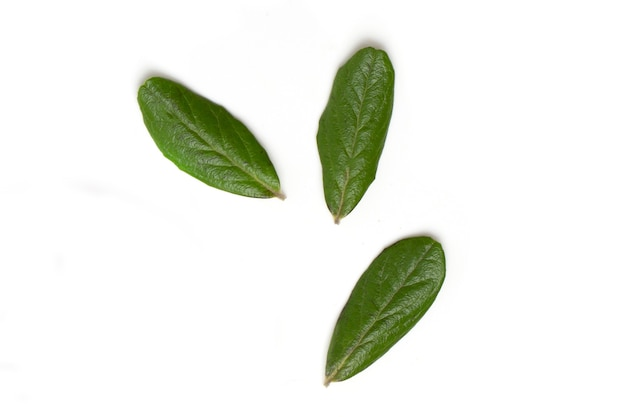 Fresh green lingonberry leaves isolated on white background, top view