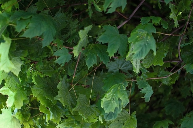 Fresh green maple leaves.