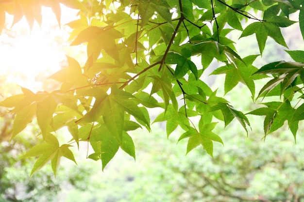 Fresh green maple tree leaves on the branch with sunlight