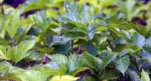 Fresh and green mulberry (morus alba) leaf buds in the nursery. natural background.