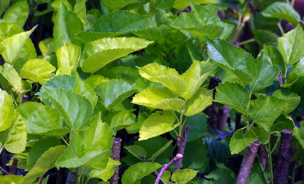 Fresh and green mulberry (morus alba) leaf buds in the nursery. natural background