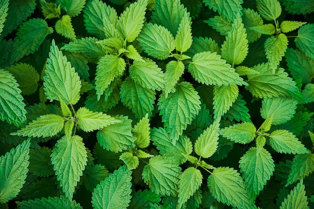 Fresh green nettle leaves background top view of the thicket of nettles nature background
