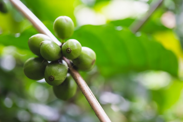 Fresh green organic coffee cherries with coffee tree in northern part of thailand