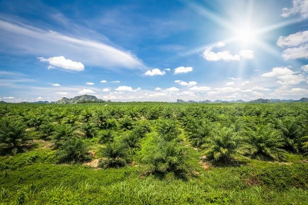 흰 구름과 태양이 있는 푸른 하늘을 배경으로 신선한 녹색 팜 오일 농장. 태국, 크라비 지방. 아름 다운 자연 풍경입니다. 농업 배경