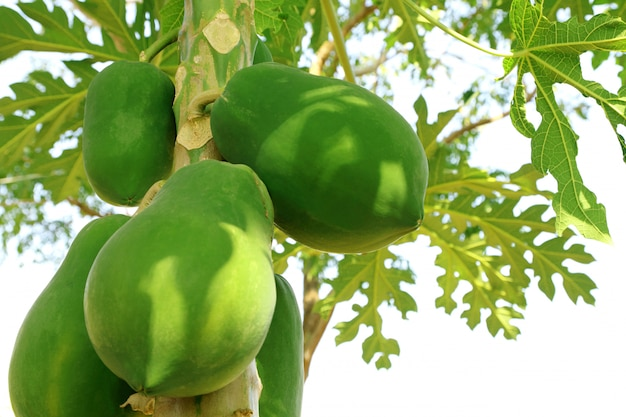 Fresh green papaya fruits on tree in the garden with blurred background and copy space.