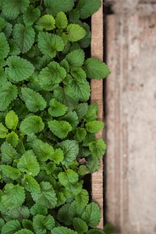 Fresh green paper mint leaves in greenhouse