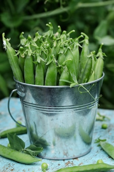 Fresh green peas in a small metal bucket on blue wooden background on nature