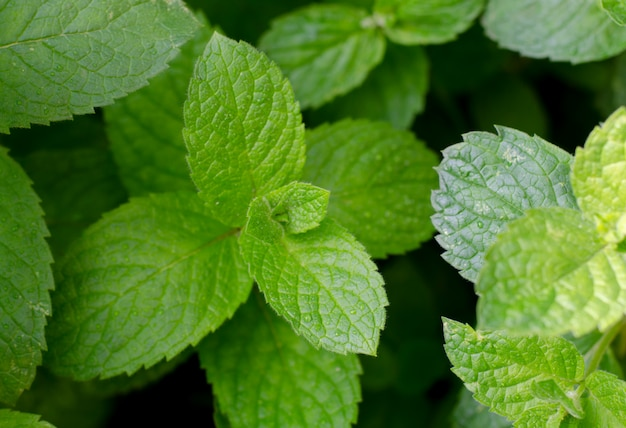 Fresh green peppermint grows in the garden. peppermint leaves under dew drops.