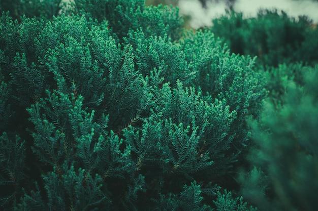 森の中の新鮮な緑の松の葉。 - ヴィンテージスタイル。