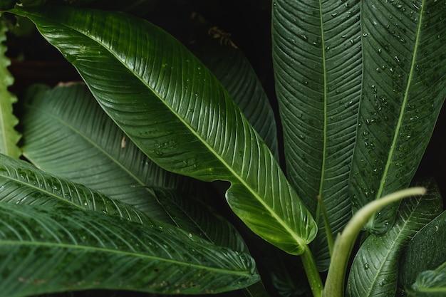 Свежие зеленые листья плюмерии или франжипани.