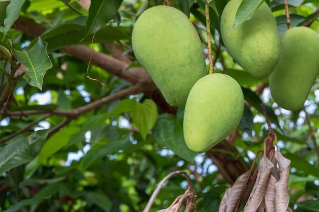 Свежие зеленые сырые манго из мангового дерева