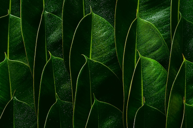 Fresh green rubber tree leaves