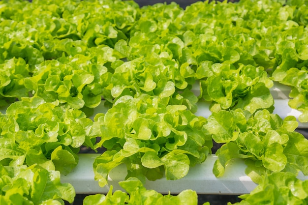 Fresh green salad lettuce vegetable growing in hydroponic organic agricultural system