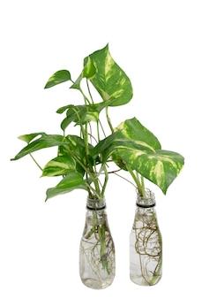 클리핑 패스와 함께 흰색 배경에 고립 된 흰색 플라스틱 재사용 병에 신선한 녹색 발견 빈랑, epipremnum aureum (linden & andré) 식물