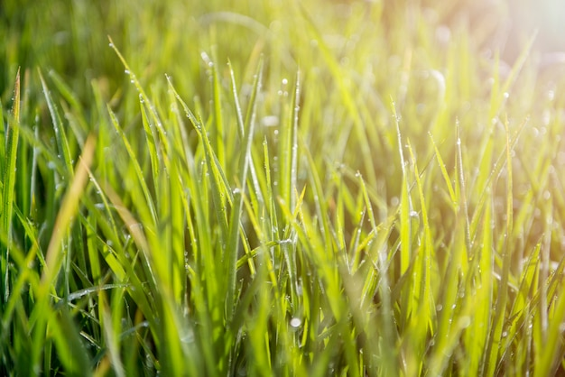 Fresh green spring grass with dew drops closeup and sunlight.