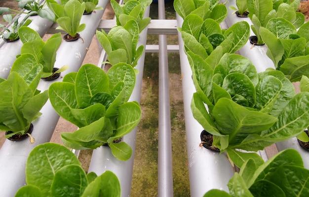 Fresh green tatsoi vegetables grown in hydroponic pots.