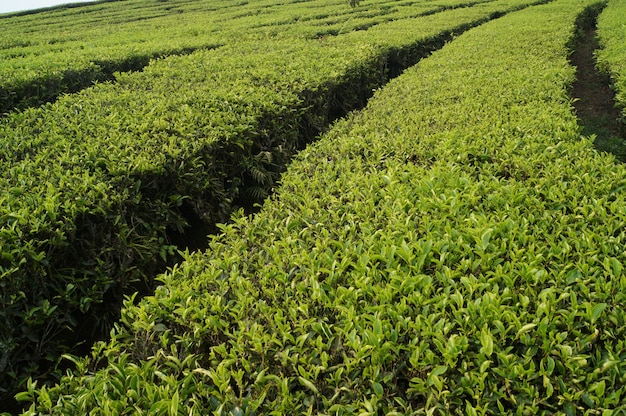 Fresh green tea fields