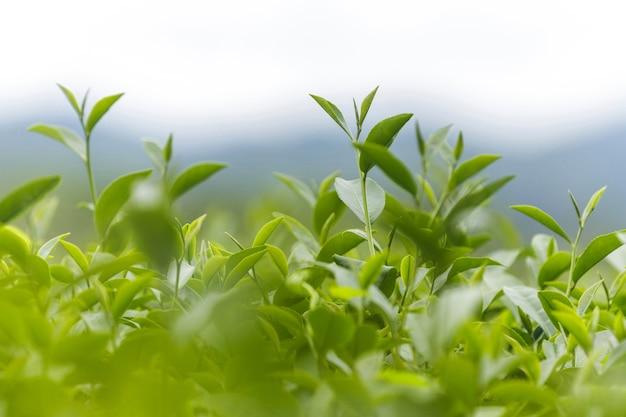 Fresh green tea leaves in a tea plantation