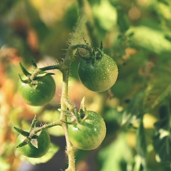 Fresh green tomatoes plants. flowering tomato.