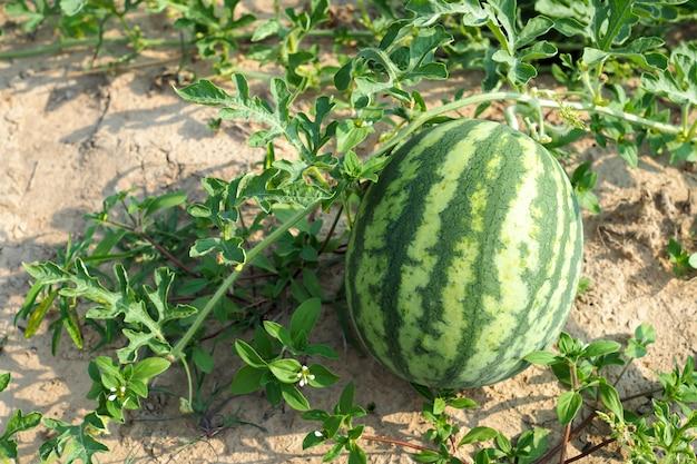 Fresh green watermelon on field