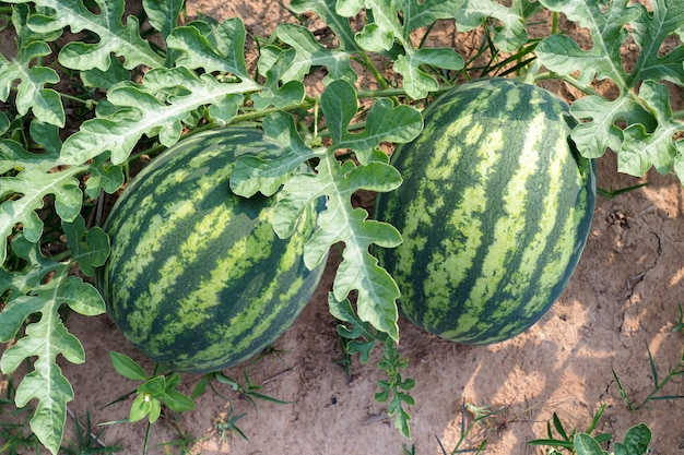 Fresh green watermelon of ripe watermelons in a field. nature food
