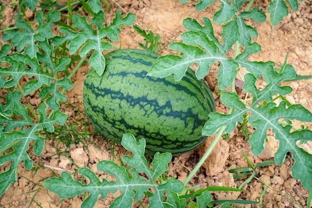 Fresh green watermelon of ripe watermelons in a field.