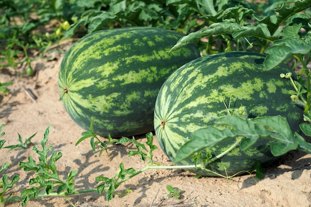 Fresh green watermelon of ripe watermelons with green leaves in a field. nature food