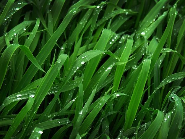 신선한 녹색 밀 잔디 잎에 이슬 방울과 잎