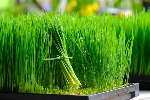 Свежая зеленая пшеничная трава с каплями росы