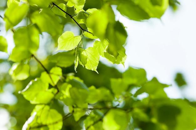 今年の春の新鮮な緑の若いリンデンの葉。被写界深度が浅い。今年の春に撮影した写真