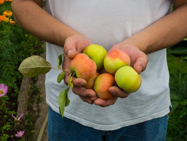 A fresh harvest of apples in the hands of a farmer