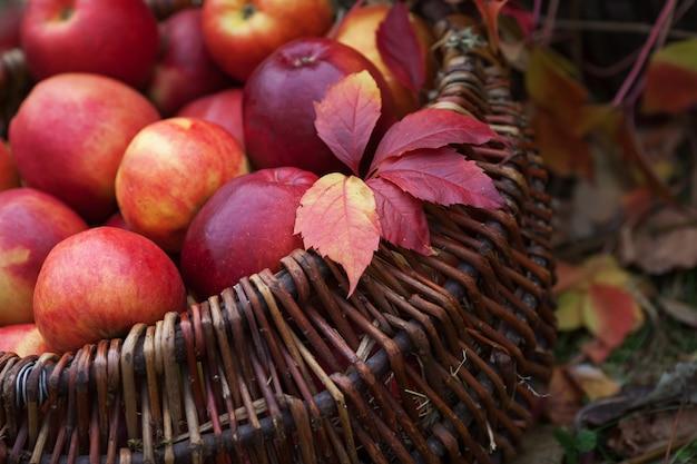りんごの新鮮な収穫。秋のガーデニング。感謝祭の日。古いテーブルの上のバスケットに有機赤リンゴ