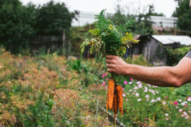 農家の手でニンジンの新鮮な収穫。