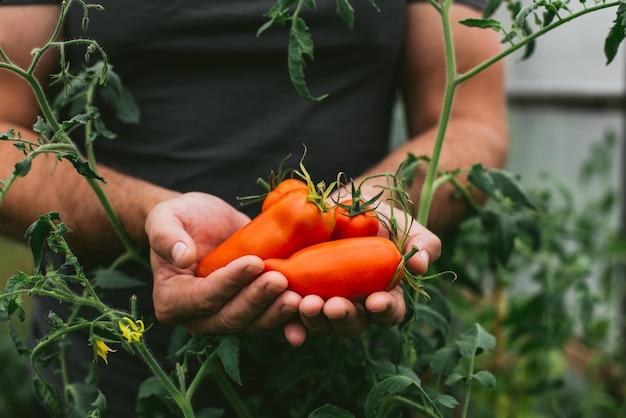Свежий урожай помидоров в руках фермера.