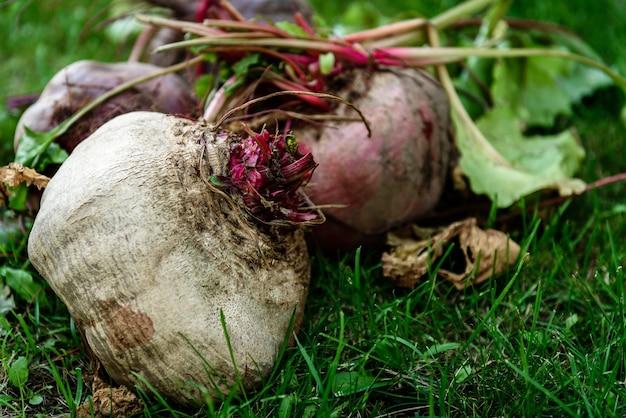 草の上の新鮮な収穫されたビートの根