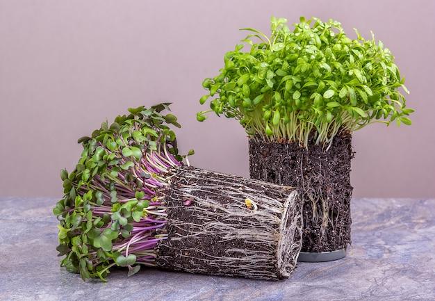 Свежие полезные микрогрины капусты и кресс-салат