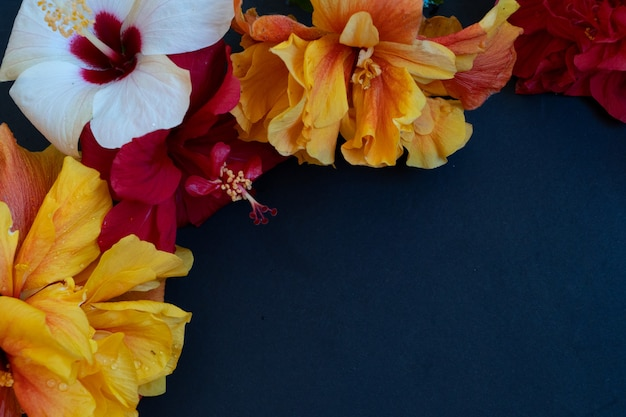 Fresh hibiscus flowers on black background close up with copy space