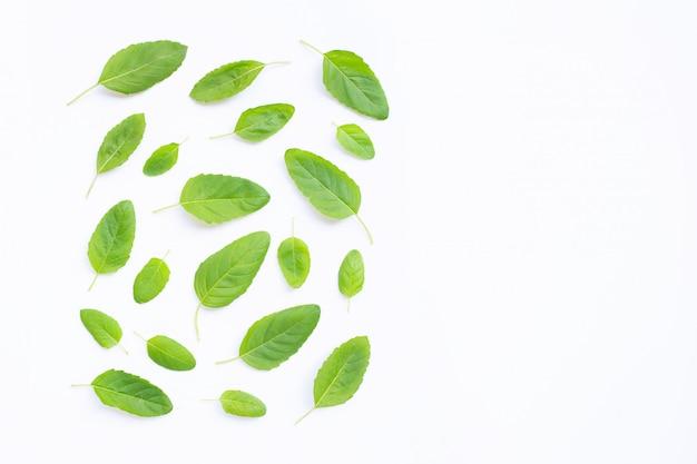 Fresh holy basil leaves on white.